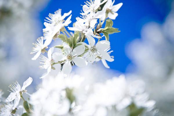 Photograph - Cherry Tree Blossom  by Raimond Klavins