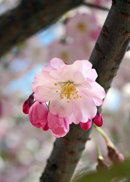 Photograph - Cherry Tree Blossom Series 801 by Jim Baker