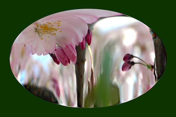 Photograph - Cherry Tree Blossom Series 803 by Jim Baker
