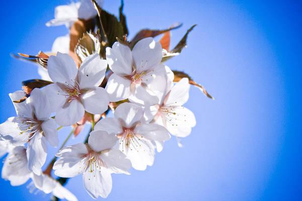 Photograph - Cherry Tree Blossoms Close Up by Raimond Klavins