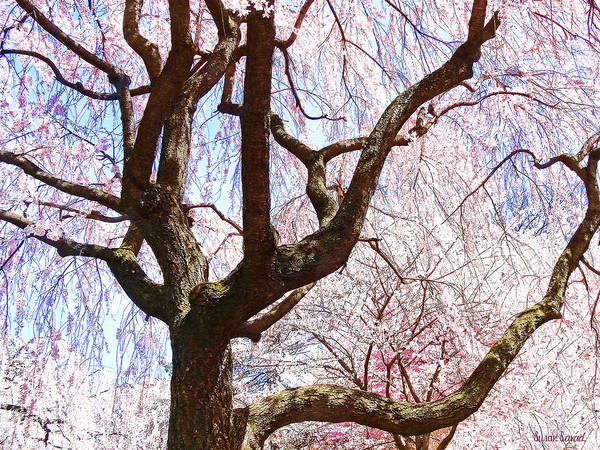 Photograph - Cherry Tree Closeup by Susan Savad