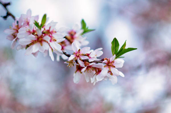 Mono No Aware Photograph - Cherry Tree Flower by Pablo Lopez