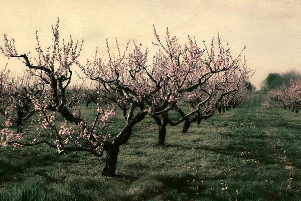 Wall Art - Photograph - Cherry Trees 2.0 by Michelle Calkins