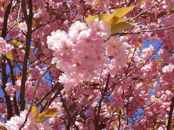 Cherry Trees Blossom Art Print