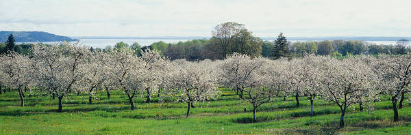 Traverse City Photograph - Cherry Trees In An Orchard, Mission by Panoramic Images