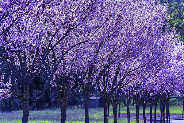 Photograph - Cherry Trees In Bloom by Garry Gay