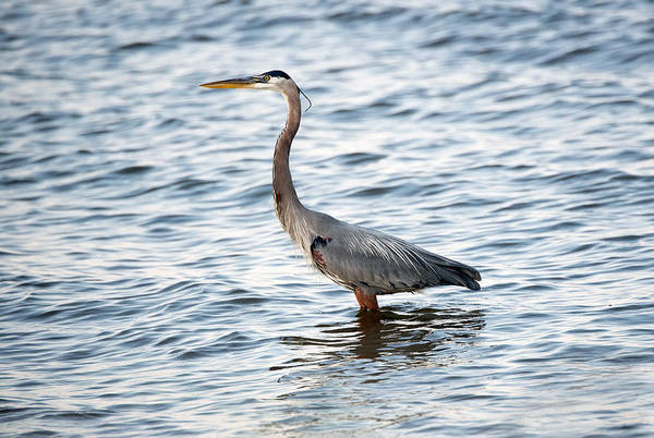 Photograph - Chesapeake Bay Blue Heron by Patrick Wolf
