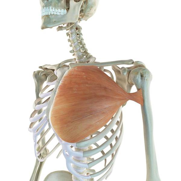 Ribcage Photograph - Chest Muscle by Sciepro