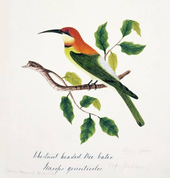 Chestnut Hill Photograph - Chestnut-headed Bee-eater by Natural History Museum, London/science Photo Library