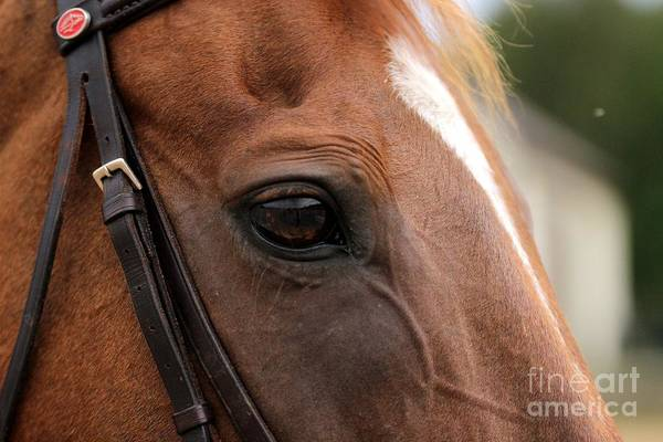 Chestnut Horse Eye Art Print