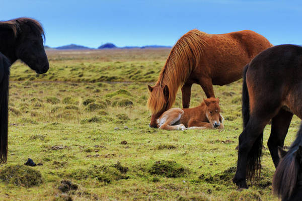 Chestnut Hill Photograph - Chestnut Icelandic Horse Nuzzles Foal by Anna Gorin