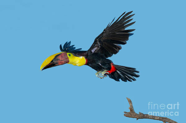 Ramphastidae Photograph - Chestnut-mandibled Toucan by Anthony Mercieca