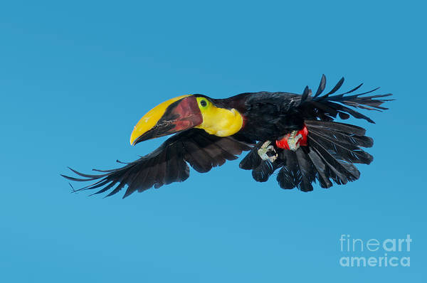 Ramphastidae Photograph - Chestnut-mandibled Toucan Flying by Anthony Mercieca