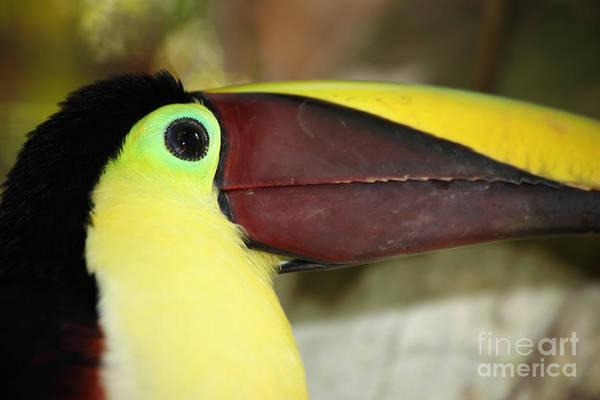 Photograph - Chestnut Mandibled Toucan Portrait by James Brunker