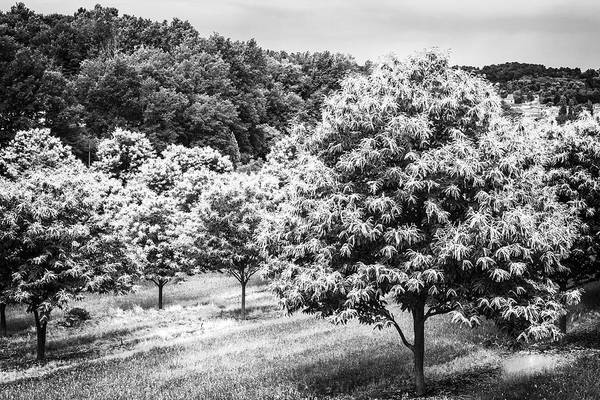Photograph - Chestnut Trees In Spring by Georgia Fowler