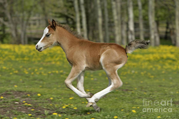Photograph - Chestnut Welsh Mountain Pony Foal by Rolf Kopfle