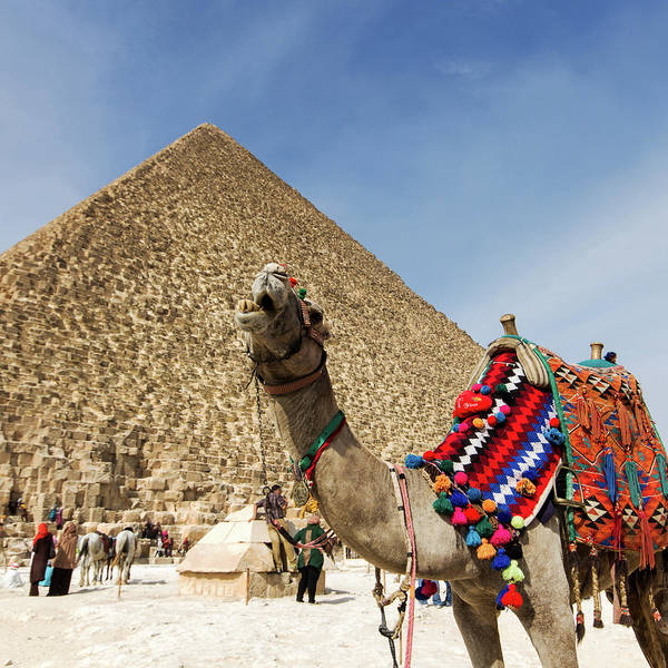 Animal Place Photograph - Chewing Camel - Great Pyramid Of Giza by John Griffiths (griff~ography) York, Uk