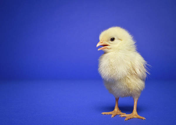 Domestic Dog Photograph - Chick by Square Dog Photography