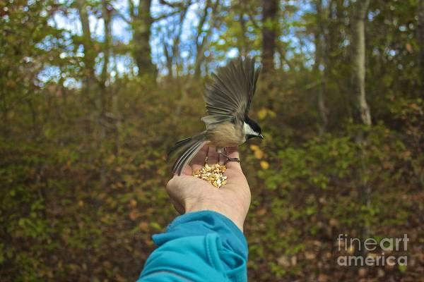 Photograph - Chickadee by Amazing Jules