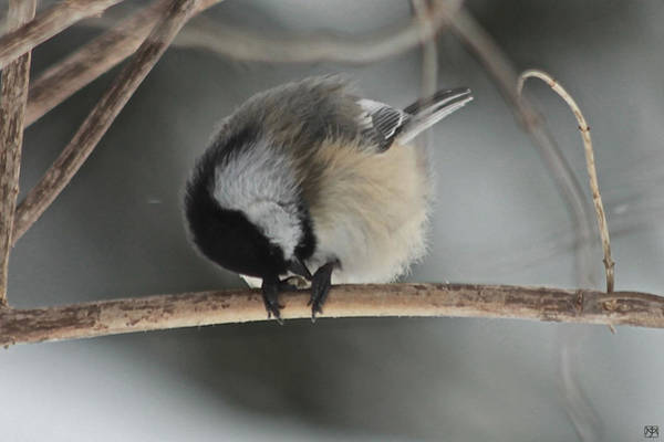Photograph - Chickadee And Seed by John Meader