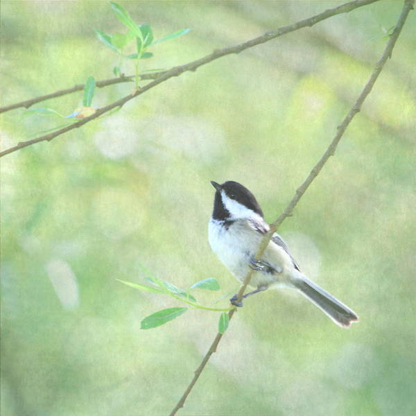 Chickadees Photograph - Chickadee by Angie Vogel