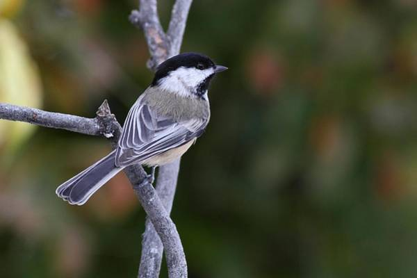 Photograph - Chickadee At Rest by Mike Farslow