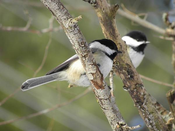 Photograph - Chickadee Double by Peggy  McDonald