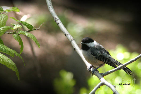 Photograph - Chickadee by E B Schmidt