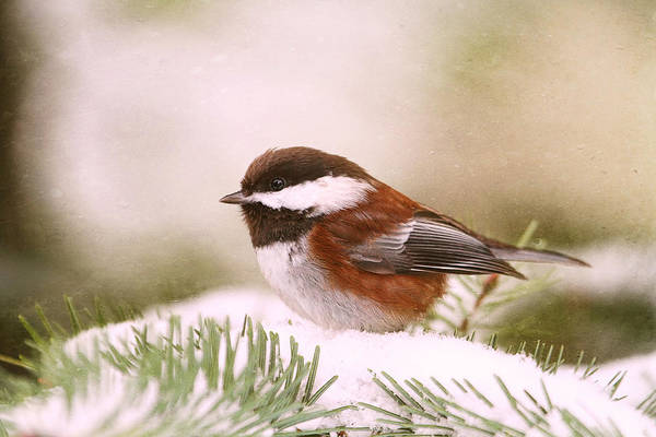 Photograph - Chickadee In Snow by Peggy Collins