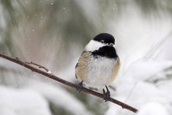 Photograph - Chickadee In The Snow by Karin Pinkham