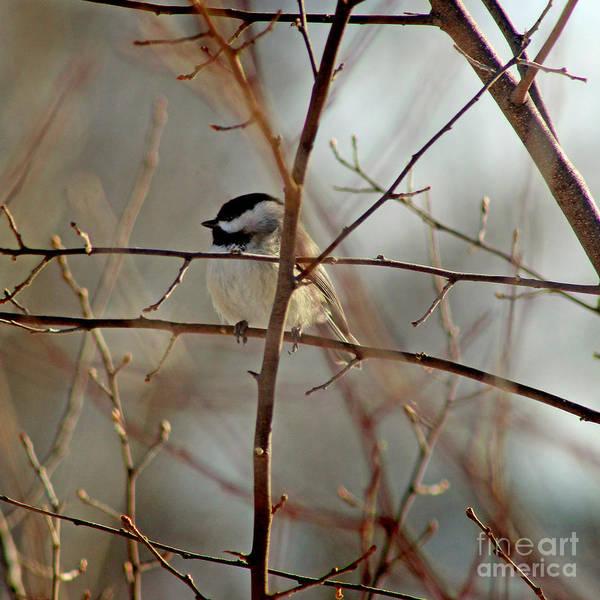 Photograph - Chickadee In Winter by Karen Adams