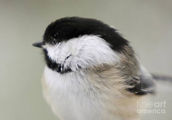 Photograph - Chickadee by Karin Pinkham
