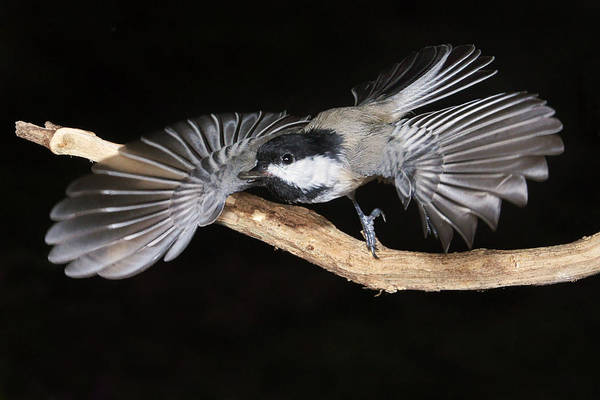 Photograph - Chickadee Launch by Leda Robertson