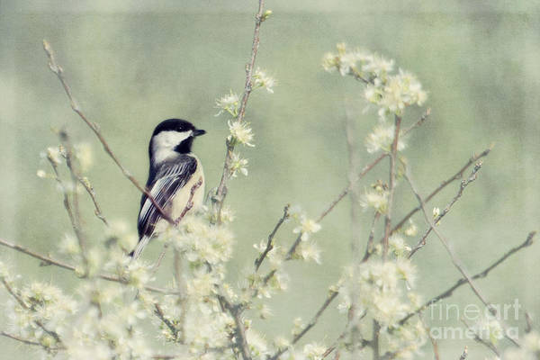 Photograph - Chickadee by Pam  Holdsworth