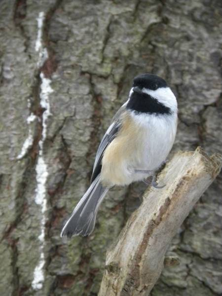 Photograph - Chickadee Ready by Peggy  McDonald