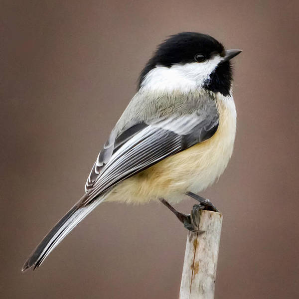 Chickadees Photograph - Chickadee Square by Bill Wakeley