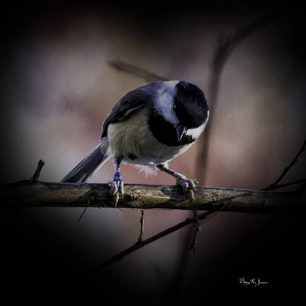 Photograph - Chickadee Valentine by Barry Jones