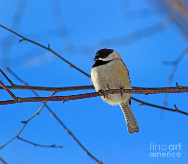 Photograph - Chickadee With Blue Winter Sky by Karen Adams