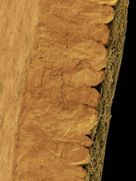 Birds Eggs Photograph - Chicken Eggshell Cross Section by Dennis Kunkel Microscopy/science Photo Library