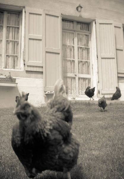 Photograph - Chicken Escapes by Matthew Pace