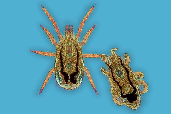 Light Microscope Wall Art - Photograph - Chicken Mites by Frank Fox
