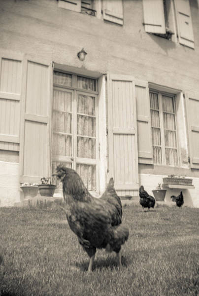 Photograph - Chicken Run by Matthew Pace