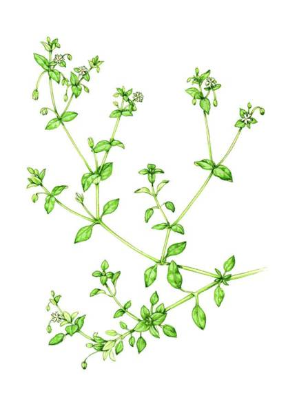 Wall Art - Photograph - Chickweed (stellaria Media) by Lizzie Harper/science Photo Library