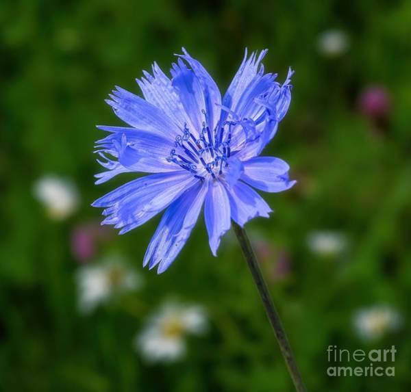 Chicory - Wildflower Art Print