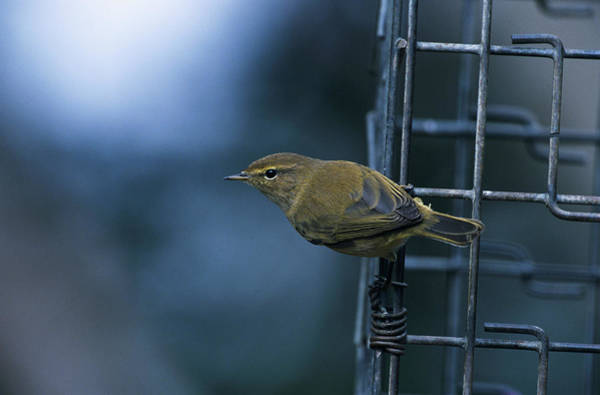 Bird Feeder Photograph - Chiffchaff by Leslie J Borg/science Photo Library