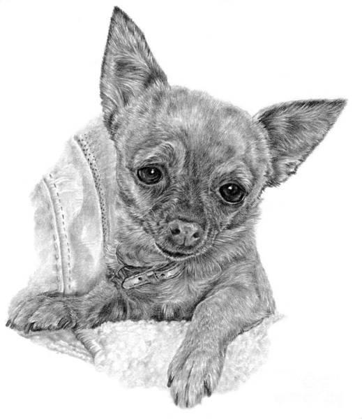 Drawing - Chihuahua - Cinnamon by Pencil Paws