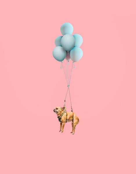 Photograph - Chihuahua Dog Floating With Balloons by Ian Ross Pettigrew