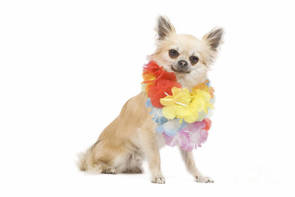 Photograph - Chihuahua Wearing Lei by Jean-Michel Labat