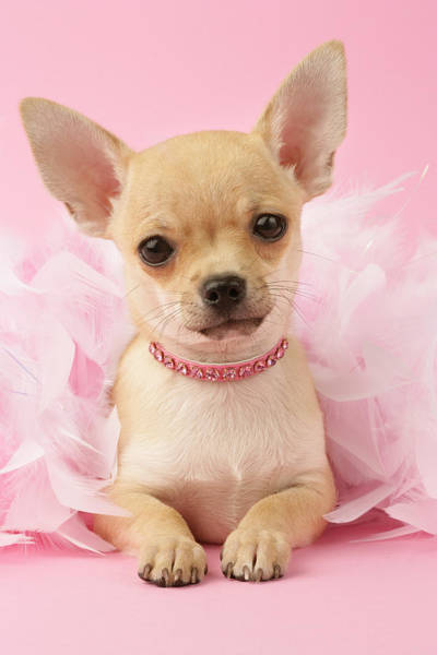 Puppies Photograph - Chihuahua With Feather Boa by MGL Meiklejohn Graphics Licensing