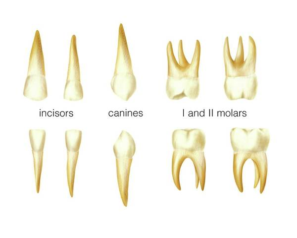 Anatomical Wall Art - Photograph - Child's Teeth by Asklepios Medical Atlas